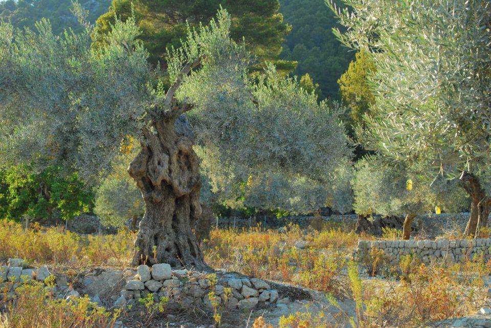 Olivenbaum Mallorca