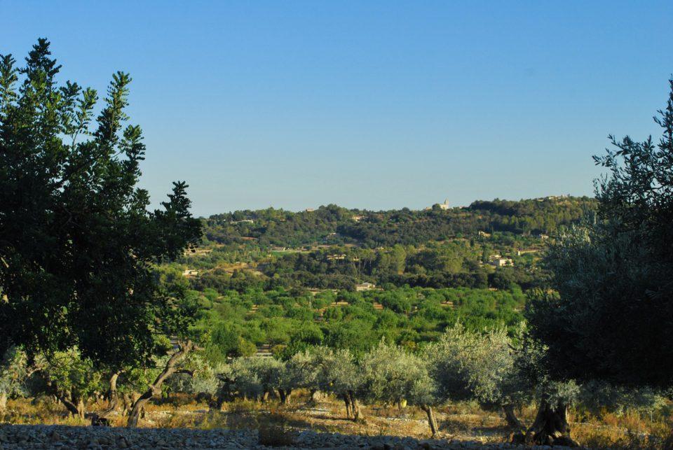 Olivenhaine Mallorca