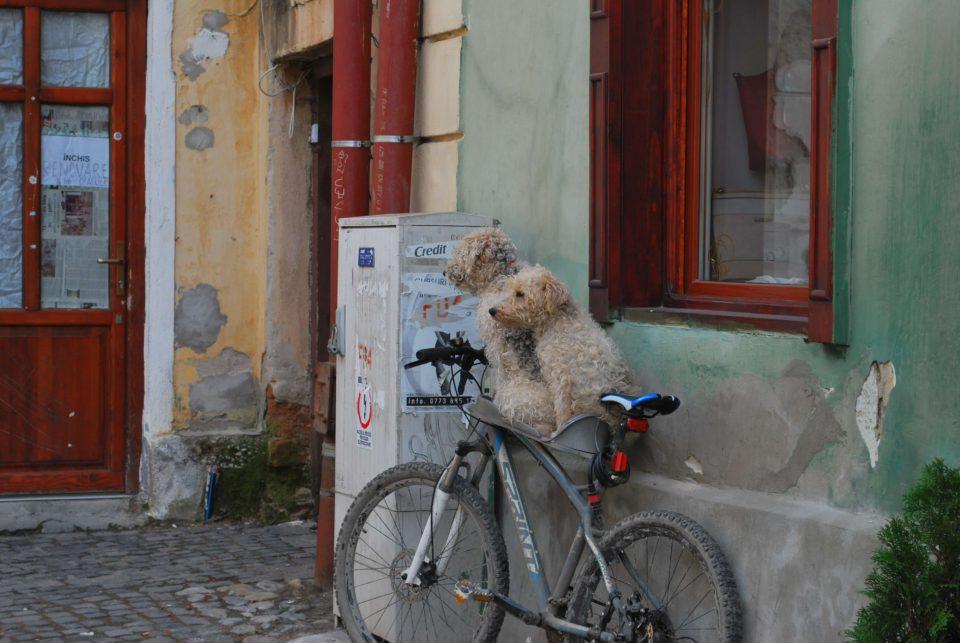 Hündchen in Sibiu