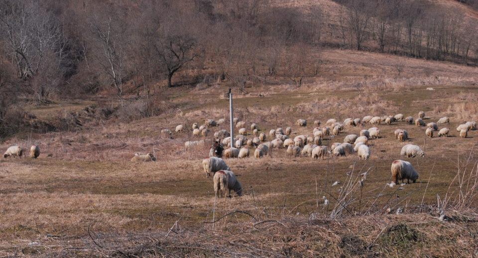 Schafherde Transsilvanien