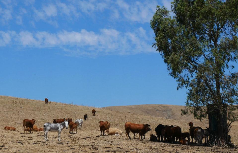 Andalusien Kühe
