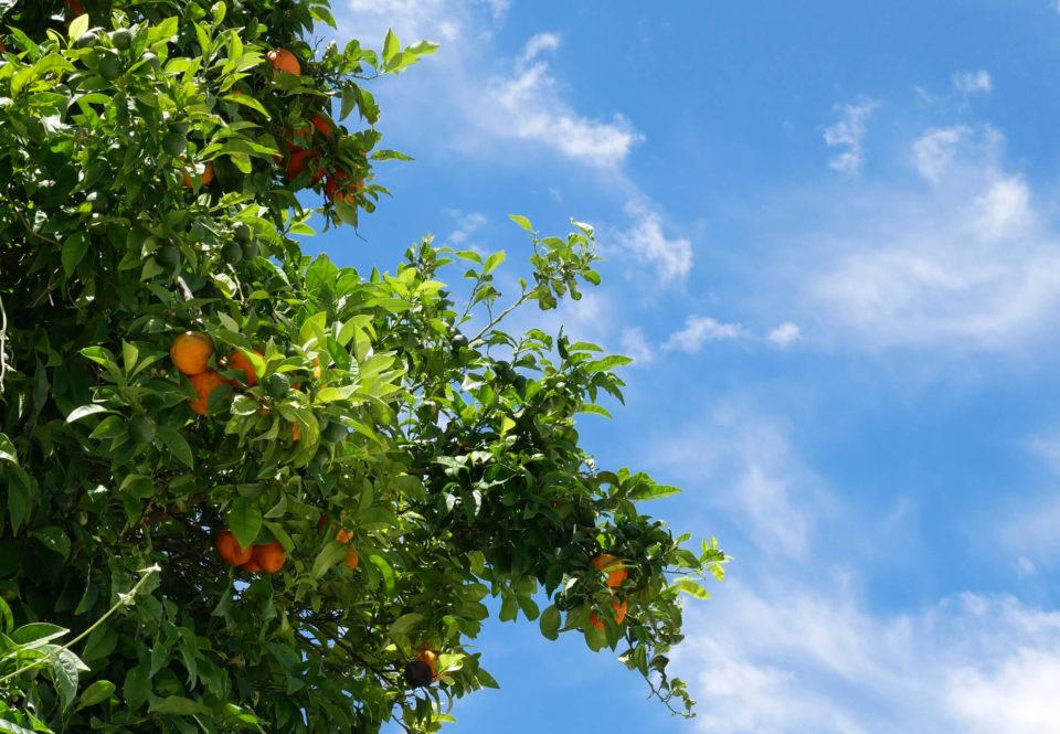 Orangenbaum Alcala de los Gazules