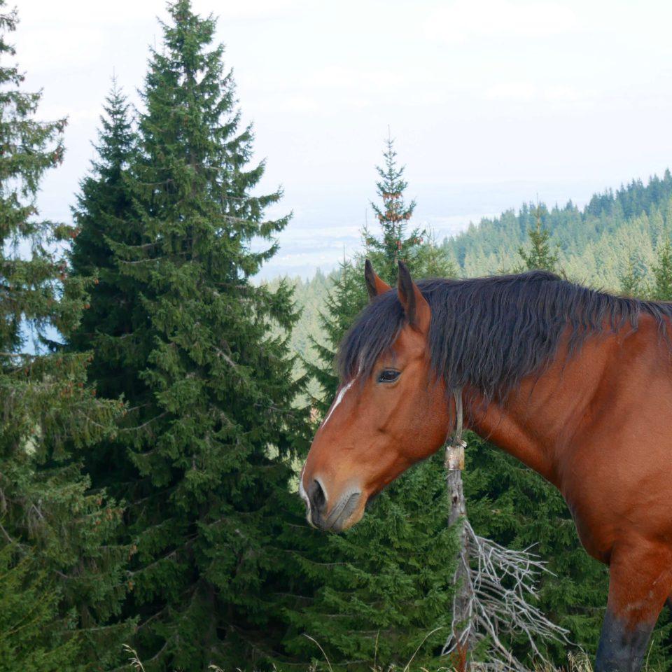 Hörnle Pferd