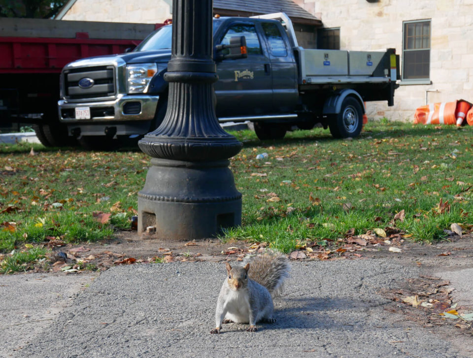 boston squirrel