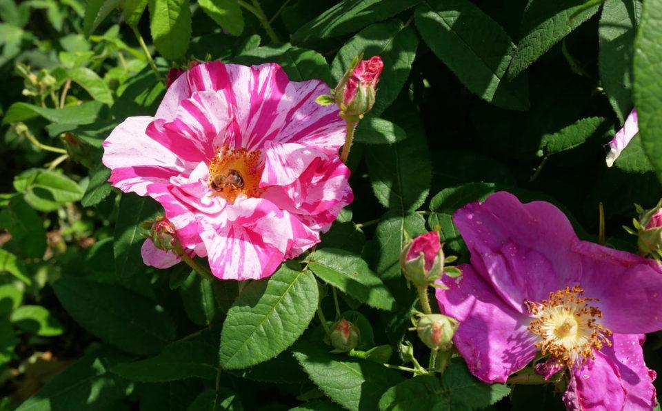 schloss eggenberg rosen