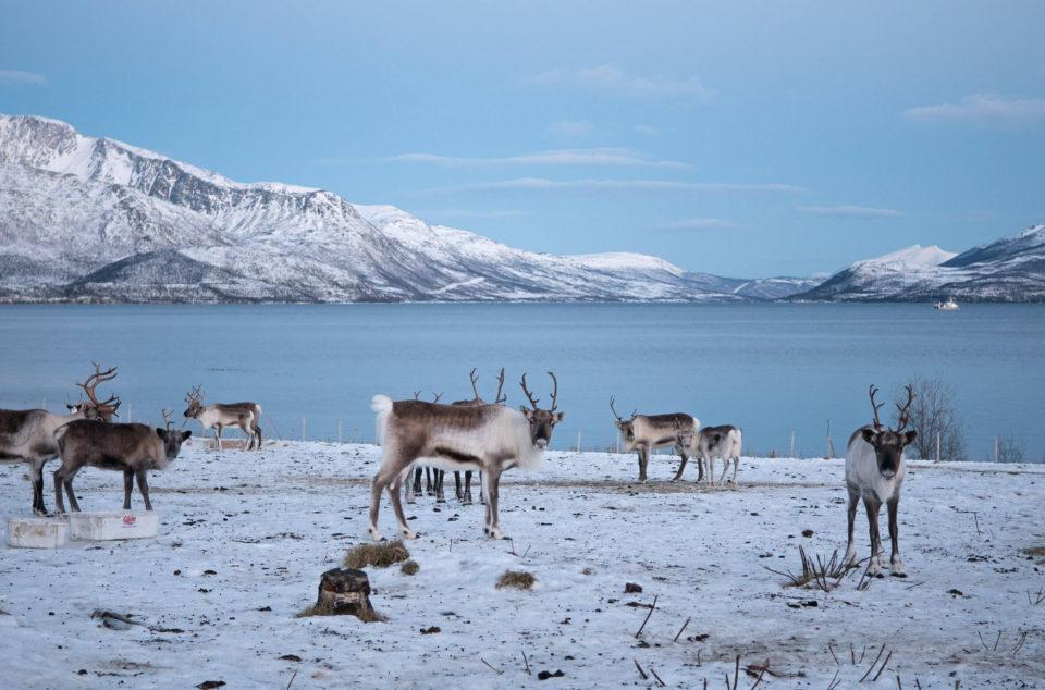 Rentiere Tromso