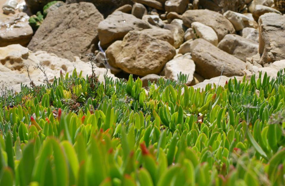 algarve strand pflanzen