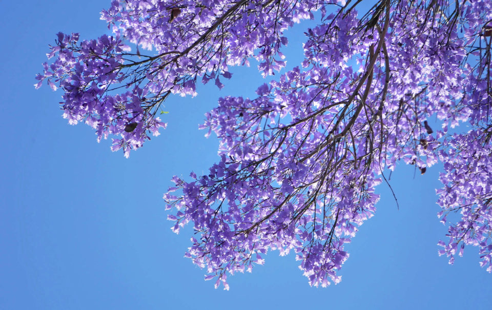 blaue bäume andalusien blüte